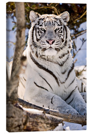 Canvas-taulu  White Bengal Tiger - Chad Coombs