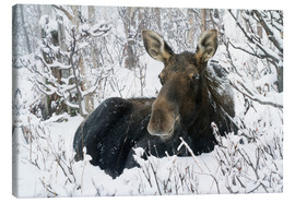 Canvas-taulu  Cow elk in a winter forest - Philippe Henry