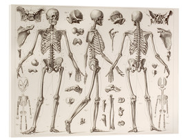 Akryylilasitaulu  Skeleton Of A Fully Grown Human - Wunderkammer Collection