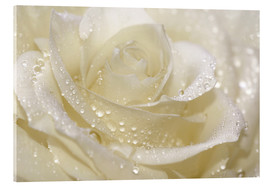 Akryylilasitaulu  White rose with drops - Atteloi