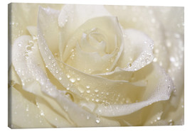 Canvas-taulu  White rose with drops - Atteloi