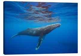 Canvas-taulu  Humpback whale under water - Dave Fleetham