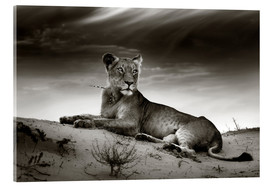 Akryylilasitaulu  Lioness resting on top of a sand dune - Johan Swanepoel