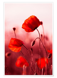 Juliste Poppies at sunset