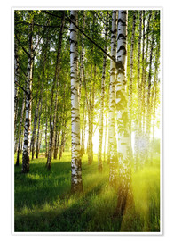 Juliste Birches flooded with light