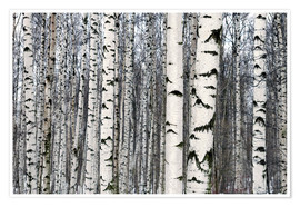 Juliste  Birch forest in winter