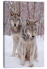 Canvas-taulu  Wolf couple in snow