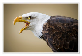 Juliste Bald Eagle