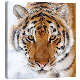 Canvas-taulu  Siberian tiger in the snow