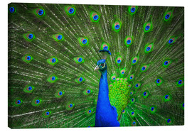 Canvas-taulu  beautiful peacock with feathers