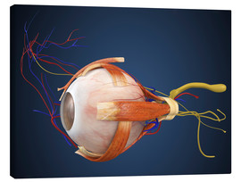 Canvas-taulu  Human eye with muscles and circulatory system.