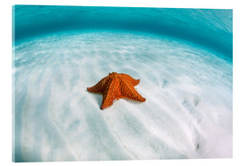 Akryylilasitaulu  A West Indian starfish on the seafloor in Turneffe Atoll, Belize. - Ethan Daniels