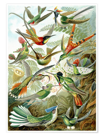 Juliste  Trochilidae hummingbirds - Ernst Haeckel