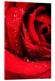Akryylilasitaulu  Red rose with water drops