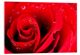 Akryylilasitaulu  Red rose bloom with dew drops
