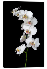 Canvas-taulu  White orchid on a black background