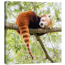 Canvas-taulu  Red Panda resting in a tree