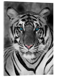Akryylilasitaulu  Tiger portrait with color accents