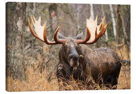 Canvas-taulu  Moose in the forest - Doug Lindstrand