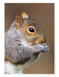 Juliste Grey squirrel