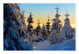 Juliste Snow-covered spruce trees at sunrise on Wurmberg in the Harz