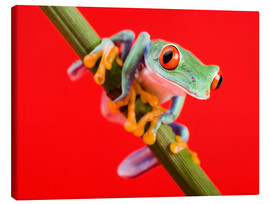 Canvas-taulu  Tree frog on red