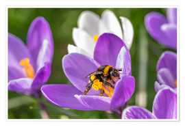 Juliste  Spring flower crocus and bumble-bee - Remco Gielen