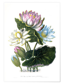Juliste  Red, Blue, and White Lotus, of Hindostan - James Forbes