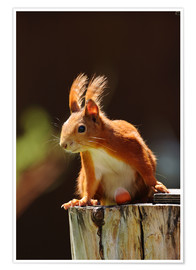 Juliste Red squirrel with hazelnut