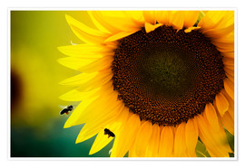 Juliste  Two bees in sunflower