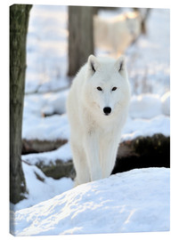 Canvas-taulu  Beautiful white wolf in the winter