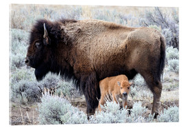 Akryylilasitaulu  Bison cow with calf