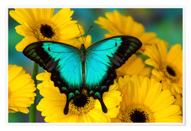 Juliste Sea green swallowtail