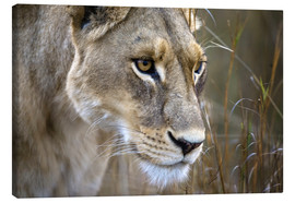 Canvas-taulu  Lioness in the grass - Janet Muir
