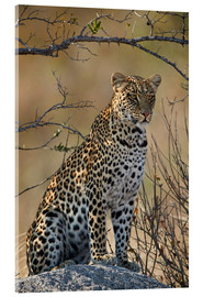 Akryylilasitaulu  Leopard perched on its rock - James Hager